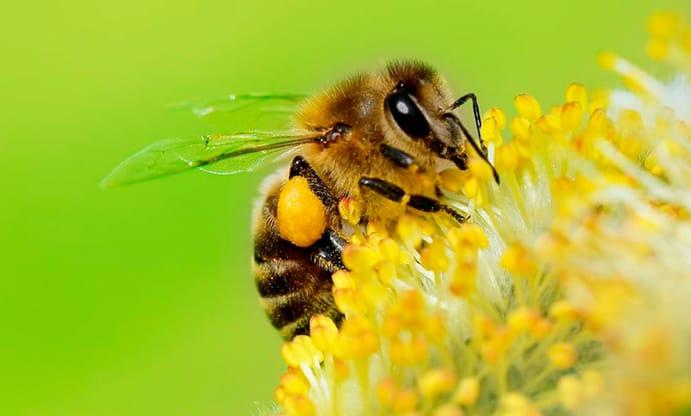 picadura de abejas